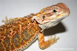 bearded dragons dragon rancher