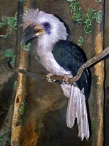 White-crowned hornbill - Wikipedia  White