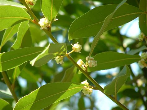 leaf tree flowering bay laurel tree laurus nobilis is an aromatic evergreen tree or large shrub with green