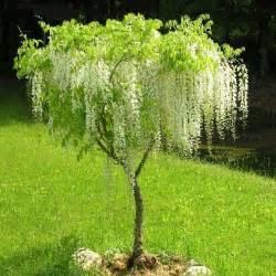 White Wisteria Tree