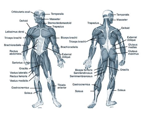 Gallery Muscles Worksheet Answers,  Anatomy Labelled