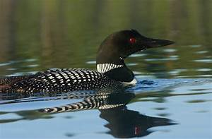 common loon Archives - Birds Calgary