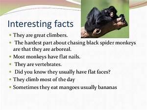 Fennelly Spider Monkey