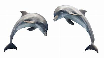 Dolphin Transparent Clipart Bottlenose Clip Dolphins Graphics