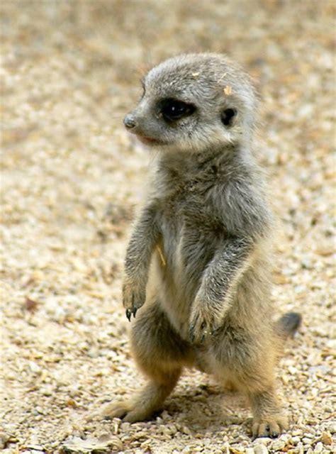 meerkat  images  clkercom vector clip art