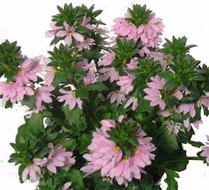 Balkonpflanzen Hängend Pflegeleicht : scaevola aemula f cherblume pflanzen versand harro 39 s ~ Lizthompson.info Haus und Dekorationen