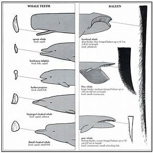 Teeth Vs Baleen