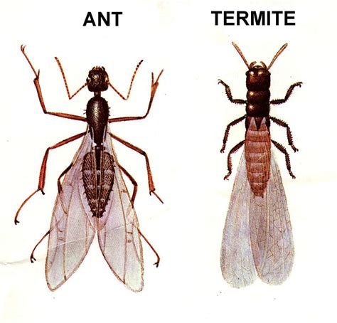 Farm Kitchen Ideas - why do some ants have wings