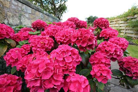 How To Plant Colorful Flowering Azaleas & Rhodos Espoma