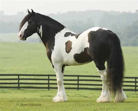 alltoppins gypsy vanner horses  sale stallion black