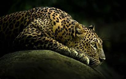Leopard Wallpapers Resting Background Desktop Cheetah Animal