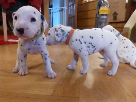 Dalmatian Puppies For Sale Carlislebria Petshomes