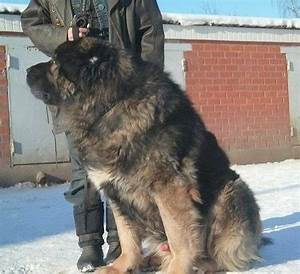 Caucasian Shepherd Dog Breed Information and Pictures
