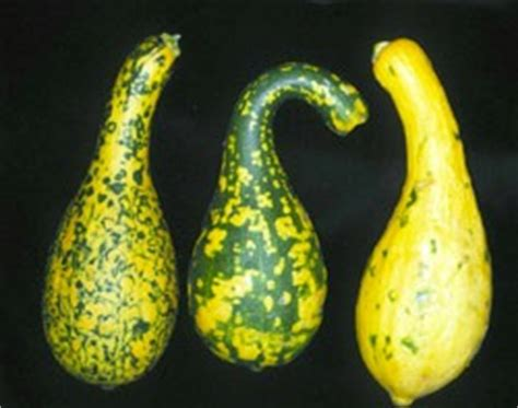 Got Green Squash? Might Be A Virus  Panhandle Agriculture