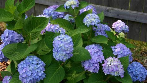 how do you prune hydrangea bushes how to prune hydrangeas plants dinzie