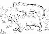 Skunk Coloring Pages Opossum sketch template