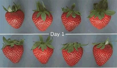 Shelf Edible Extend Strawberry Fruit Apeel Produce