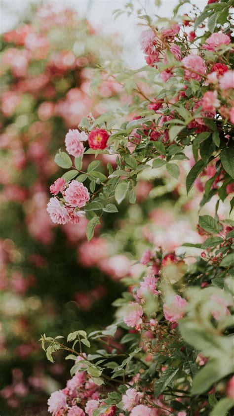 Download Wallpaper 1080x1920 Flowers Rose Bush Bloom
