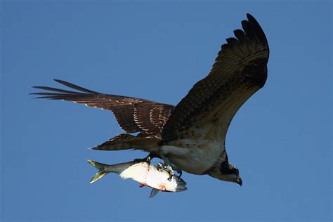 Images Of Osprey Uncategorized 171 Chesapeake Bay On The Brink