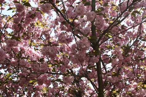 Sep 10, 2021 · in spring, they're covered with fragrant white, pink, or red flowers, and produce tiny yellow, orange, or red fruit in fall. Spring Pink Flower Tree | Trees| Free Nature Pictures by ...