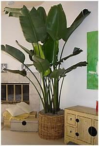 Zimmerpflanze Große Blätter : die 25 besten ideen zu gro e zimmerpflanzen auf pinterest ~ Lizthompson.info Haus und Dekorationen