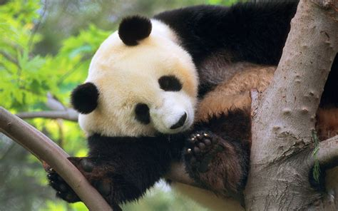 Imágenes De Osos Panda Fotos Hd