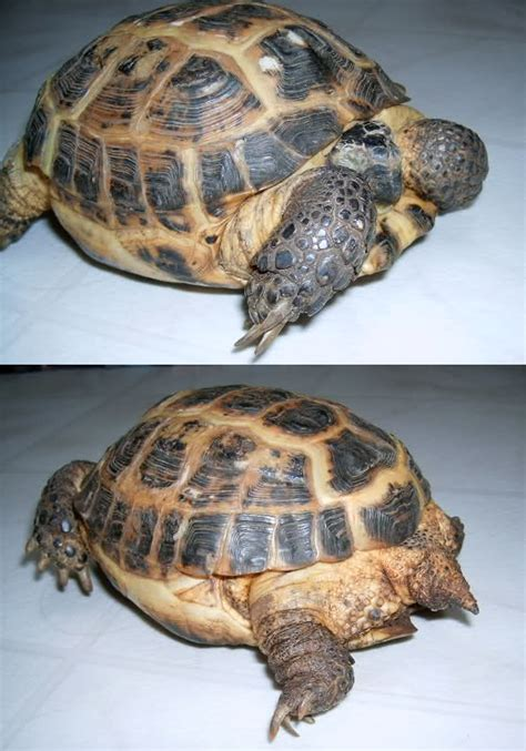tartaruga terrestre alimentazione obesit 224 nelle tartarughe tartapedia