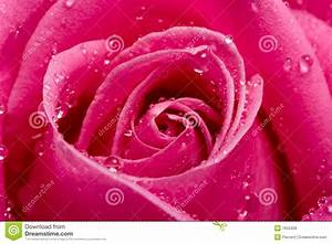 Close-up Pink Rose With Water Drops Royalty Free Stock ...
