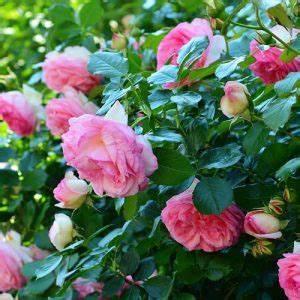 Comment Tailler Les Rosiers : comment planter les rosiers les conseils pour votre ~ Nature-et-papiers.com Idées de Décoration