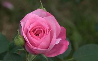 pink and roses fondo rosa