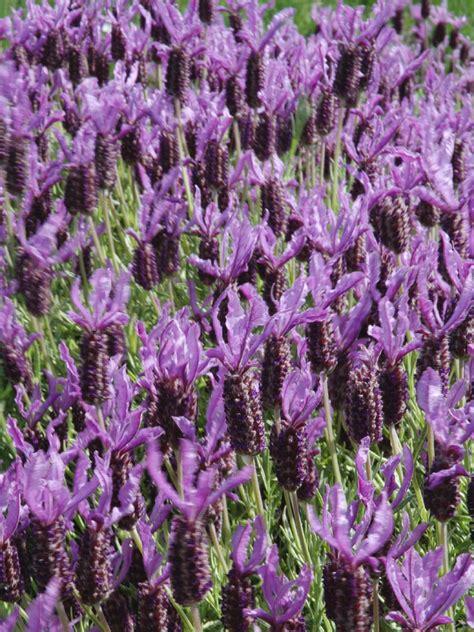 varieties of lavender varieties of lavender for the garden diy garden projects vegetable gardening raised beds