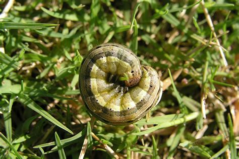 rid  army worms  homes  gardens