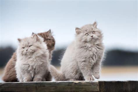 Britų ilgaplaukės - iš pirmo žvilgsnio sužavinčios katės ...
