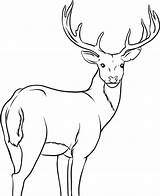 Deer Coloring Pages Printable Whitetail Draw Tailed Step Drawing Forest sketch template