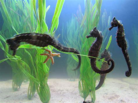seahorse sea wonderful seahorses mammals male uploaded user