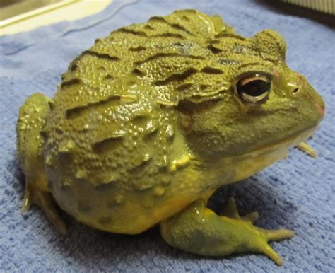 can frogs shed reptiles at garanimals