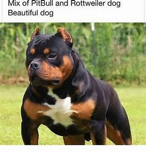 Rottweiler pitbull pictures – Dog life photo