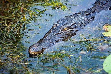 explaining saltie saltwater crocodiles  attacked