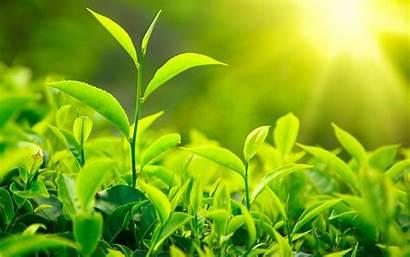 Tea Plant India Grow Own Nurserylive Tweet