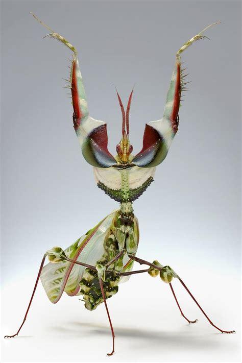 Entomologie: découvrez la mante religieuse diabolique!