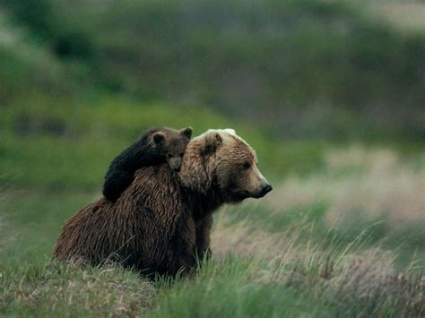 Mama Grizzly Bear Euthanized After