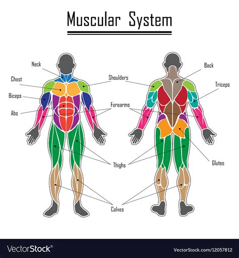 Muscular System Images Human Muscular System Royalty Free Vector Image