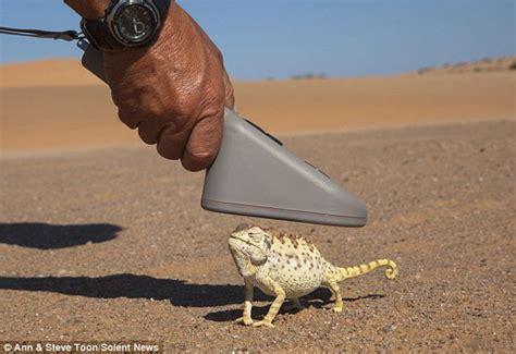 Desert chameleons get microchipped - Africa Geographic
