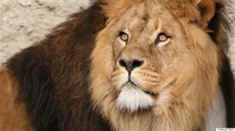 dentist blamed  killing  cecil  lion