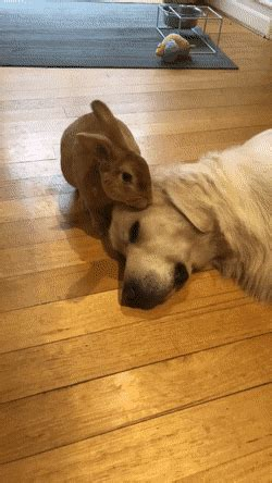 gif rabbit takes care   dog cute small animals