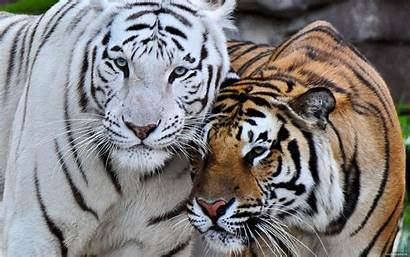 Tigre Du Bengale Amour Tablet Forwallpapercom Bengal