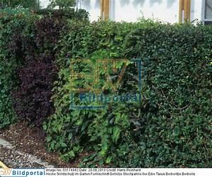 Ilex Hecke Giftig : details zu 0003174842 hecke sichtschutz im garten ~ Lizthompson.info Haus und Dekorationen