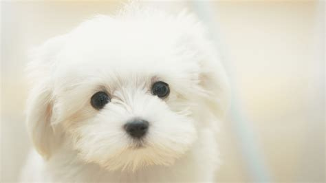 Wallpaper For Dual Screen Cute White Puppy Walldevil