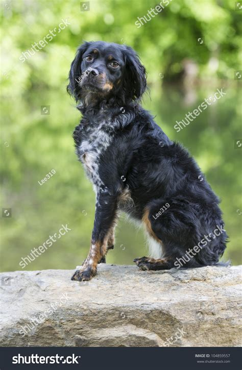 Multicolored French Brittany Spaniel Sitting On A Rock ...