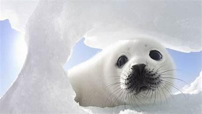 Seal Animal Desktop Backgrounds Wallpapers Adorable Seals